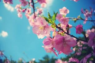 南国の桜 FYI00226138