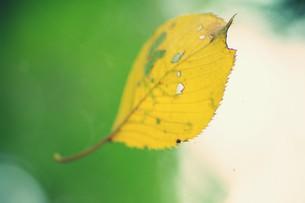 蜘蛛の巣にかかる黄葉 FYI00226150