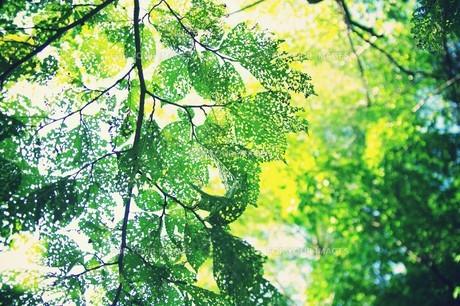 透かし模様の葉 FYI00226156