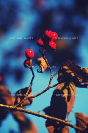 枯れ葉と赤い実 FYI00226159