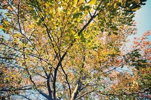 桜紅葉 FYI00226168