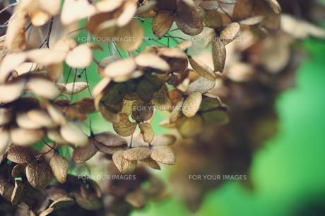 秋の紫陽花 FYI00226169