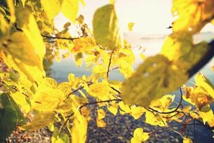 湖畔の黄葉 FYI00226176