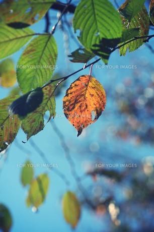 紅葉と青空 FYI00226179