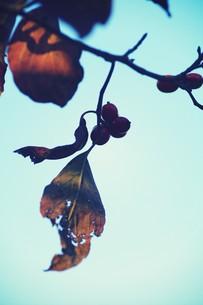 紅葉と赤い実 FYI00226198