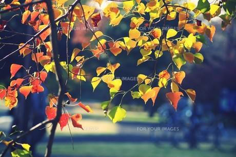 紅葉の公園 FYI00226202