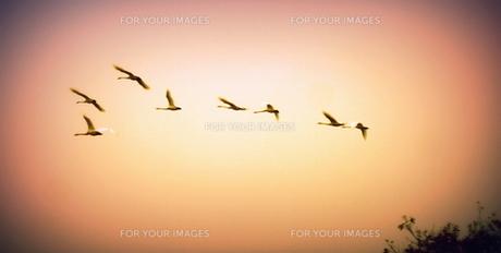 餌場に飛び立つ白鳥 FYI00229606