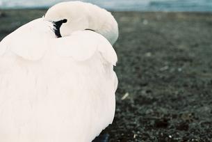 白鳥のポートレート FYI00229692
