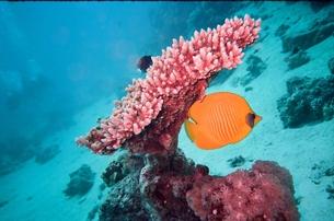 ゴールデンバタフライフィッシュとサンゴ礁の素材 [FYI00231659]