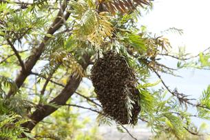 マウイの蜂の巣 FYI00232999