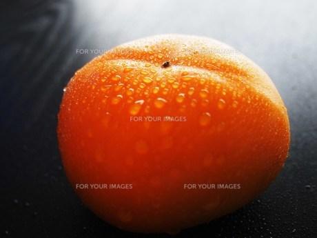 柿の実 FYI00234045