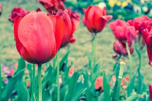 red tulip FYI00238819