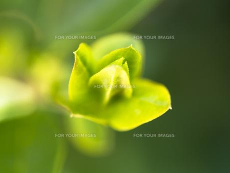 ふんわり木の芽 FYI00238856