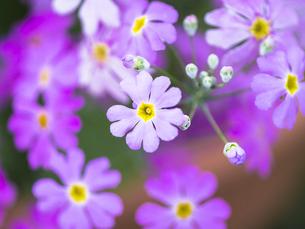 サクラソウの花と蕾 FYI00238901