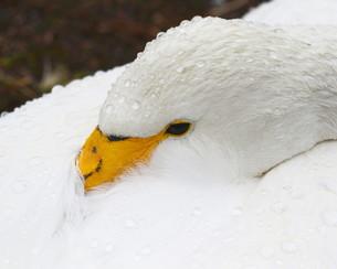 白鳥 FYI00240641