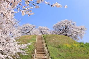 さきたま古墳 丸墓山に咲く桜 FYI00240769
