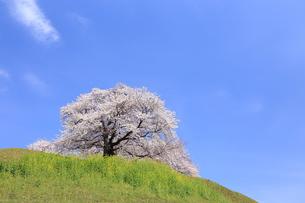 さきたま古墳 丸墓山に咲く桜 FYI00240780