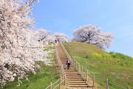 さきたま古墳 丸墓山に咲く桜 FYI00240787