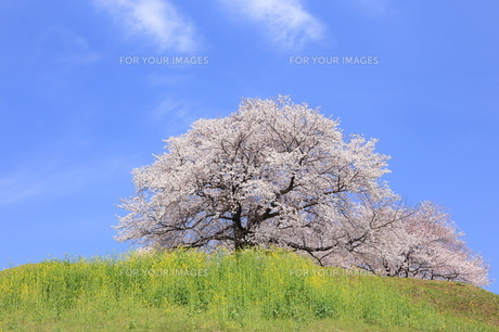 さきたま古墳 丸墓山に咲く桜 FYI00240792