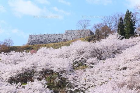 二本松城に咲くサクラ FYI00240951