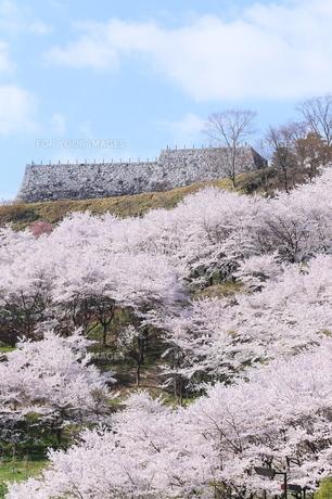 二本松城に咲くサクラ FYI00240972
