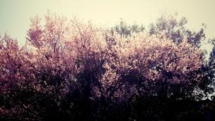 満開の桜 FYI00245592