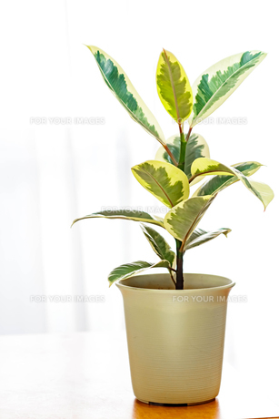 観葉植物 FYI00248276