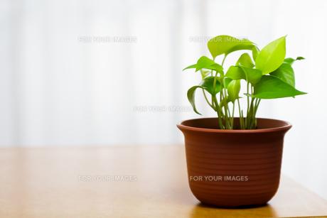 観葉植物 FYI00248299