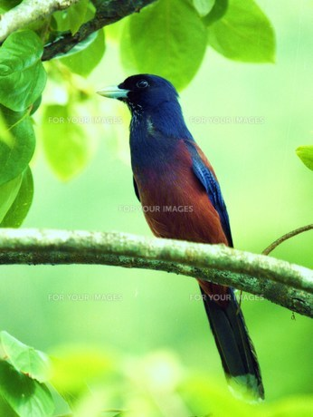 天然記念物 ルリカケス 鹿児島県県鳥 FYI00248668