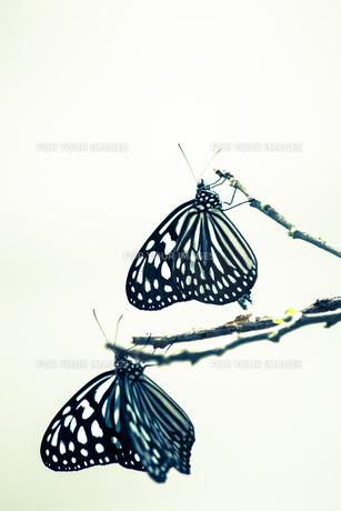 2頭の蝶 FYI00249044