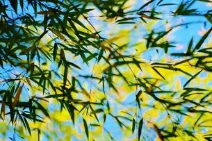 風に吹かれる笹の葉 FYI00251275