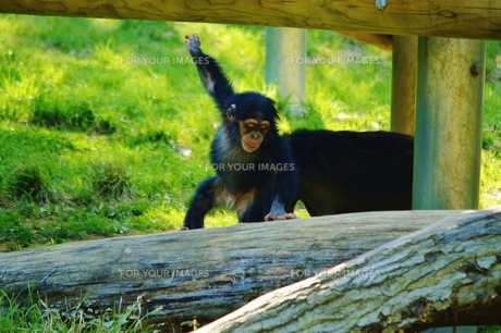 はしゃぐチンパンジーの赤ちゃん FYI00251279