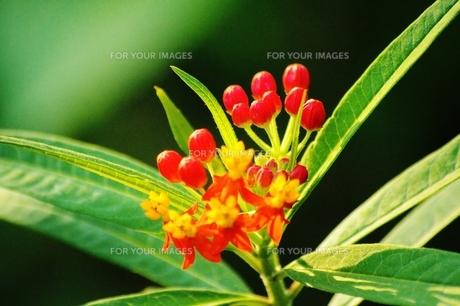 熱帯植物 FYI00251288