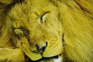 百獣の王の寝顔 FYI00251291