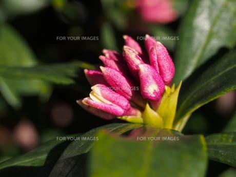 沈丁花の蕾 Fyi00252390 気軽に使える写真イラスト素材