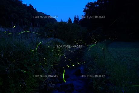 月夜のゲンジボタル FYI00254161