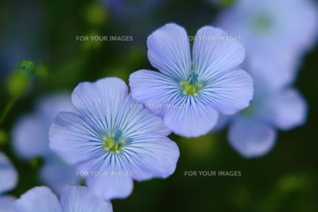 亜麻の花 FYI00256215