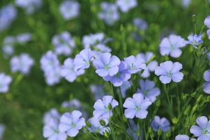 亜麻の花 FYI00256227
