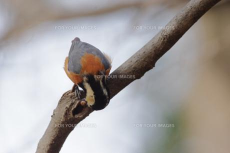 木の実を隠そうとしているヤマガラ FYI00257271