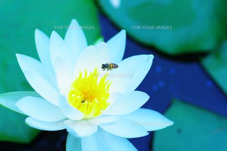 睡蓮と飛んできた蜂 FYI00258143
