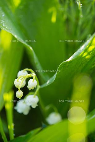 朝露のついたスズランの花 FYI00260298