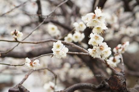 梅の花 FYI00260736