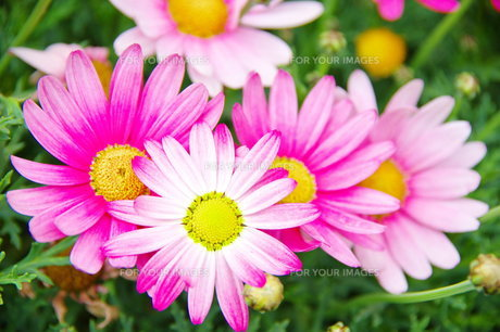ピンクの花 FYI00260762