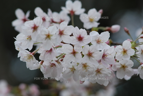 桜のイメージ FYI00261133