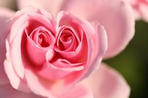 双子のバラ FYI00261420
