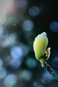 早春のつぼみ FYI00261438