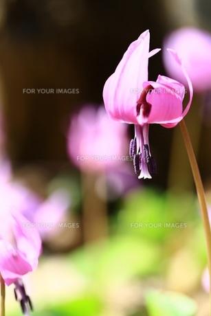 春の使者 FYI00261451