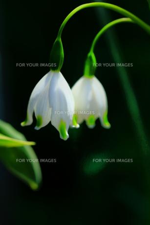 春の白 FYI00261468