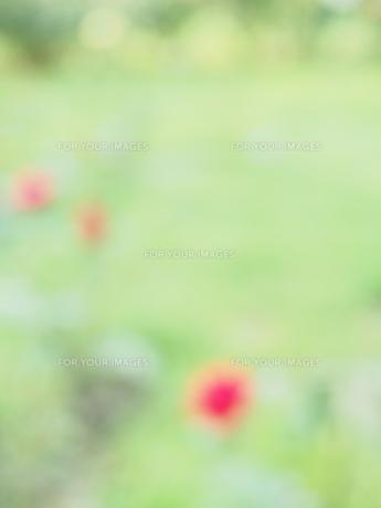 公園のバラ FYI00262131