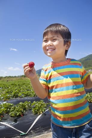 イチゴ狩りを楽しむ子供 FYI00264963